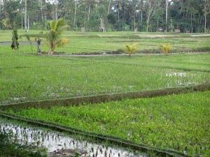 Rice paddies near Ubud, Bali, July 2012