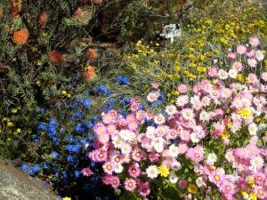 Western Australian wildflowers, Perth, Western Australia, September 2012