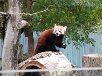 In Adelaide we also got to meet the pretty and cheeky red pandas