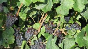dark grapes on a vine