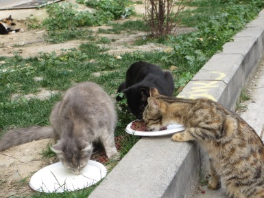 three cats drinking milk and eating food out of bowls, Galata District, Istanbul