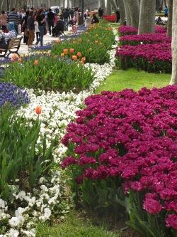 purple, white and orange tulips