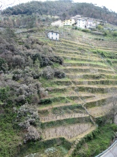 vines on terraces with houses on a hill on the background