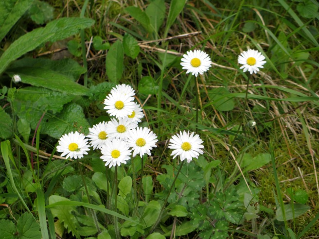 white daisies with yellow centres close up