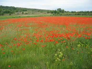 field of red poppies in Provence