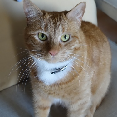ginger and white cat with green eyes sitting on a chair
