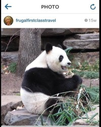 Panda in Adelaide Zoo eating breakfast