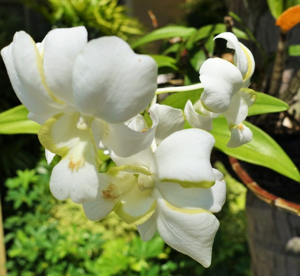 white Singapore orchids